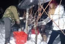 U najrazvikanijem zagorskom vinogradu se na ledenih -9 pobralo 4000 trsova
