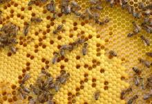 Ovog petka predavanje za pčelare o patvorenju voska