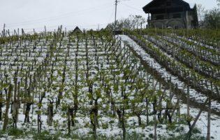 Prije najavljene nedjeljne kiše, svakako treba pošpricati vinograde, jabuke, kruške i ostalo voće