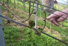 Predavanje o fitoplazmozi vinove loze danas u Domu kulture u Konjščini
