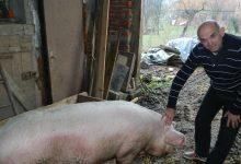 Dvogodišnja, 280 kilograma teška Gujda, ipak će u subotu završiti u šunkama i kobasicama