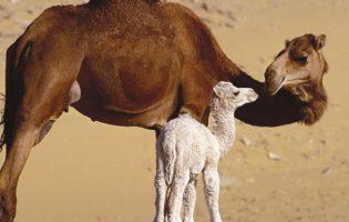 U Đurđevac stigle deve, evo gdje će ih se moći vidjeti