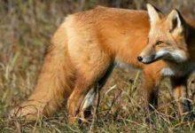 Od 1. studenog počinje provedba oralne vakcinacije lisica