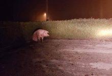 Svinja iz Benkova naslutila tragičan kraj, pa pobjegla iz svinjca