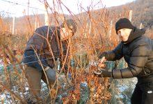 Isplati se malo istrpjeti: Brali na jutrošnjih -14, da bi dobili najfiniju vinsku kapljicu