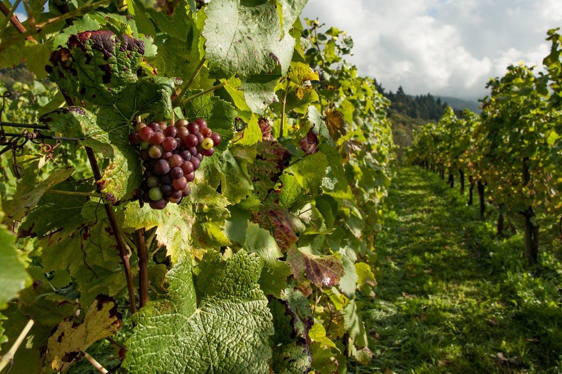 Stručna savjetovanja: Govorit će se o pojavi zlatne žutice te o programu zaštite vinove loze