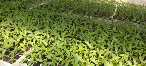 Zadrugari i učitelji presadit će tisuću presadnica povrća i cvijeća u novi prošireni školski vrt