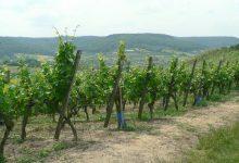 Predavanje o bolesti vinograda – zlatnoj žutici