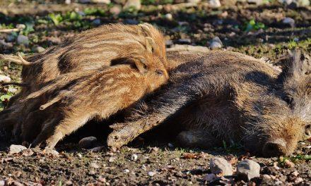 LOVCI: Nismo skloni da obezglavimo cijele obitelji divljih svinja. DRŽAVNI TAJNIK: Vjerujem da će presuditi lovna etika, nigdje ne piše da se krmače moraju odstrijeliti u ovo doba godine