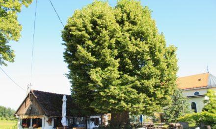 Gupčeva lipa nominirana je za Europsko stablo 2019. godine